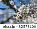 桜 さくら サクラの写真 32576100