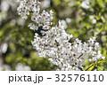 桜 さくら サクラの写真 32576110