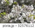 桜 さくら サクラの写真 32576112