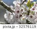 桜 さくら サクラの写真 32576119