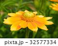 ルドベキア・プレーリーサン キク科 オオハンゴンソウ属の写真 32577334