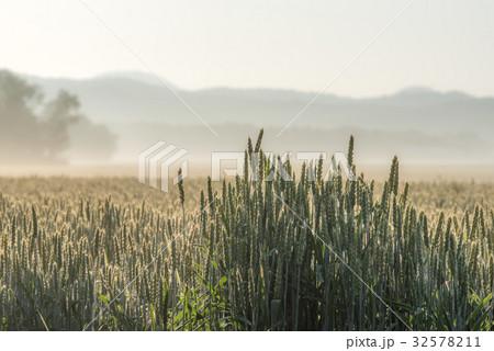 夏の畑の朝4 32578211
