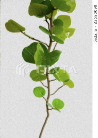 海葡萄,植物,海ブドウ、植物、Coccoloba uvifera,plant,のイラスト素材 [32580099] - PIXTA
