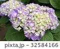 紫陽花 32584166