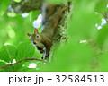 野生のエゾリス 32584513