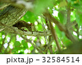 野生のエゾリス 32584514