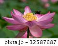 古代蓮とミツバチ 32587687