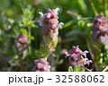 花 植物 野草の写真 32588062