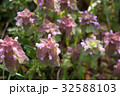 花 植物 野草の写真 32588103