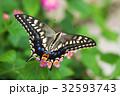 アゲハ蝶 蝶 昆虫の写真 32593743