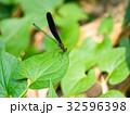 昆虫 トンボ ハグロトンボの写真 32596398