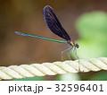 昆虫 トンボ ハグロトンボの写真 32596401