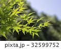新緑 楓 若葉の写真 32599752