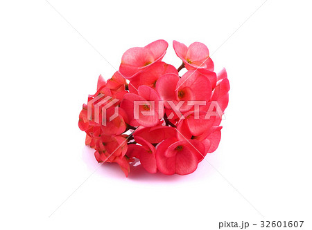 Poi Sian flowers on a white background 32601607