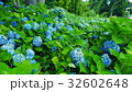 紫陽花 32602648