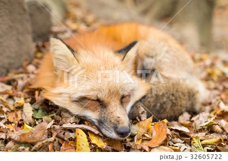 Cute fox sleeping 32605722
