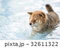 プールの柴犬、水しぶき! 32611322
