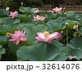 オオガハス 蓮 花の写真 32614076