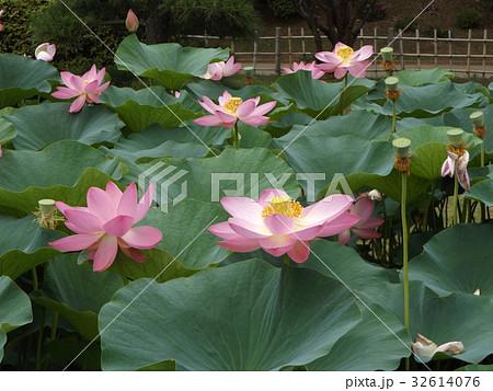 千葉公園のオオガハスの桃色の花 32614076
