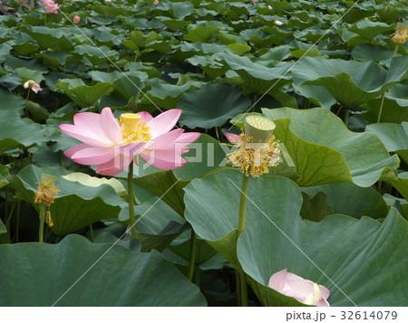 千葉公園のオオガハスの桃色の花 32614079