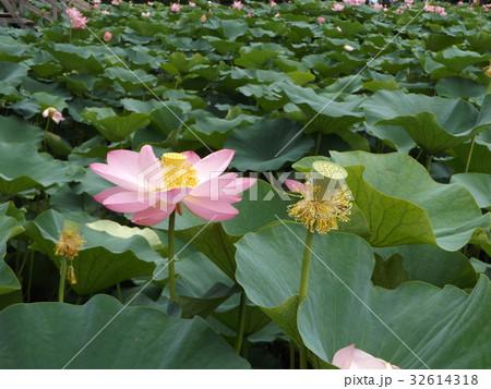 千葉公園のオオガハスの桃色の花 32614318