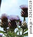 アンテーチョークの原種と言われるカールドンの花 32614319