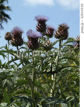 アンテーチョークの原種と言われるカールドンの花 32614320