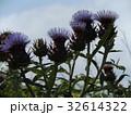 アンテーチョークの原種と言われるカールドンの花 32614322
