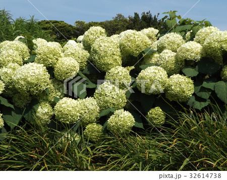 ハイドランジアアナベルというアジサイの仲間の白い花 32614738