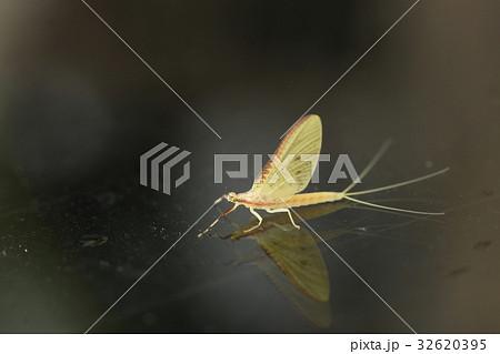 カゲロウ 蜻蛉 蜉蝣 かげろう 昆...