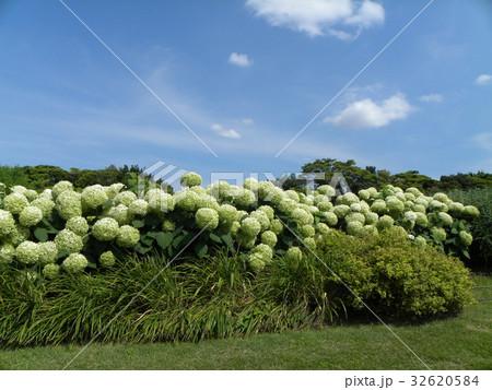 ハイドランジアアナベルというアジサイの白い花と青い空 32620584