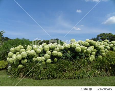 ハイドランジアアナベルというアジサイの白い花と青い空 32620585