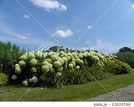 ハイドランジアアナベルというアジサイの白い花と青い空 32620586