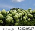ハイドランジアアナベルというアジサイの白い花と青い空 32620587