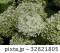 ハイドランジアアナベルというアジサイの白い花 32621805