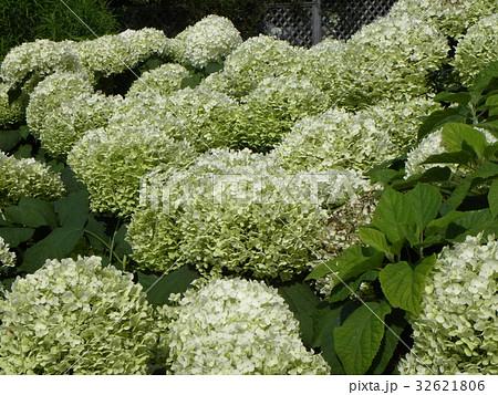 ハイドランジアアナベルというアジサイの白い花 32621806
