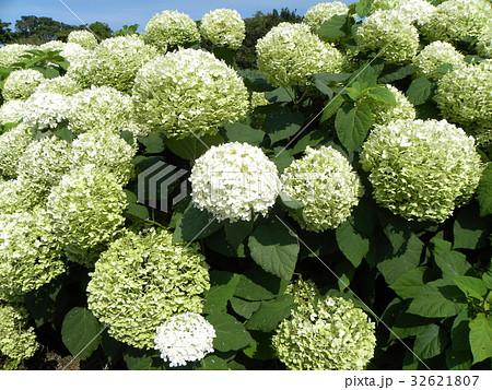 ハイドランジアアナベルというアジサイの白い花 32621807