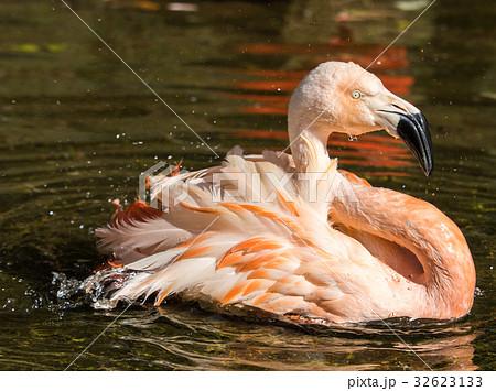 水浴びをするフラミンゴ 32623133
