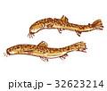 どじょう 鰌 水彩画 水墨画 32623214