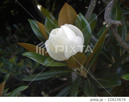 大きい真っ白な花はタイサンボクの花 32623676