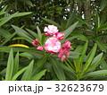 千葉の花木キョウチクトウの桃色の花 32623679