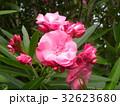 千葉の花木キョウチクトウの桃色の花 32623680
