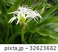 海岸に咲く白い繊細なハマユウの花 32623682