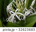 海岸に咲く白い繊細なハマユウの花 32623683