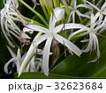 海岸に咲く白い繊細なハマユウの花 32623684