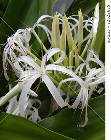 海岸に咲く白い繊細なハマユウの花 32623685