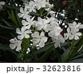 千葉の花木キョウチクトウの白色の花 32623816
