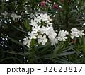 キョウチクトウ 白色 花の写真 32623817