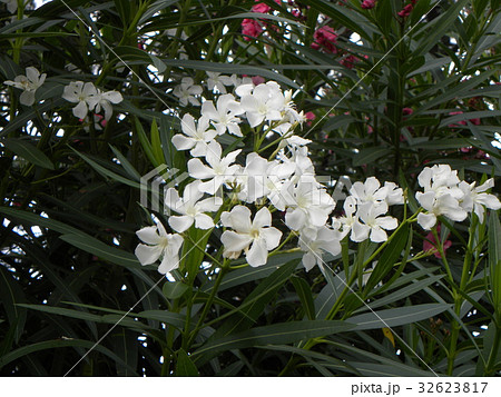 千葉の花木キョウチクトウの白色の花 32623817