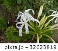 海岸に咲く白い繊細なハマユウの花 32623819